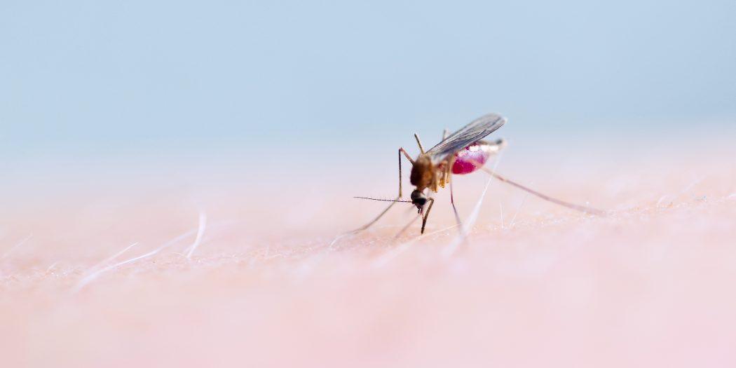 gryzący komar