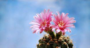 kwitnący kaktus