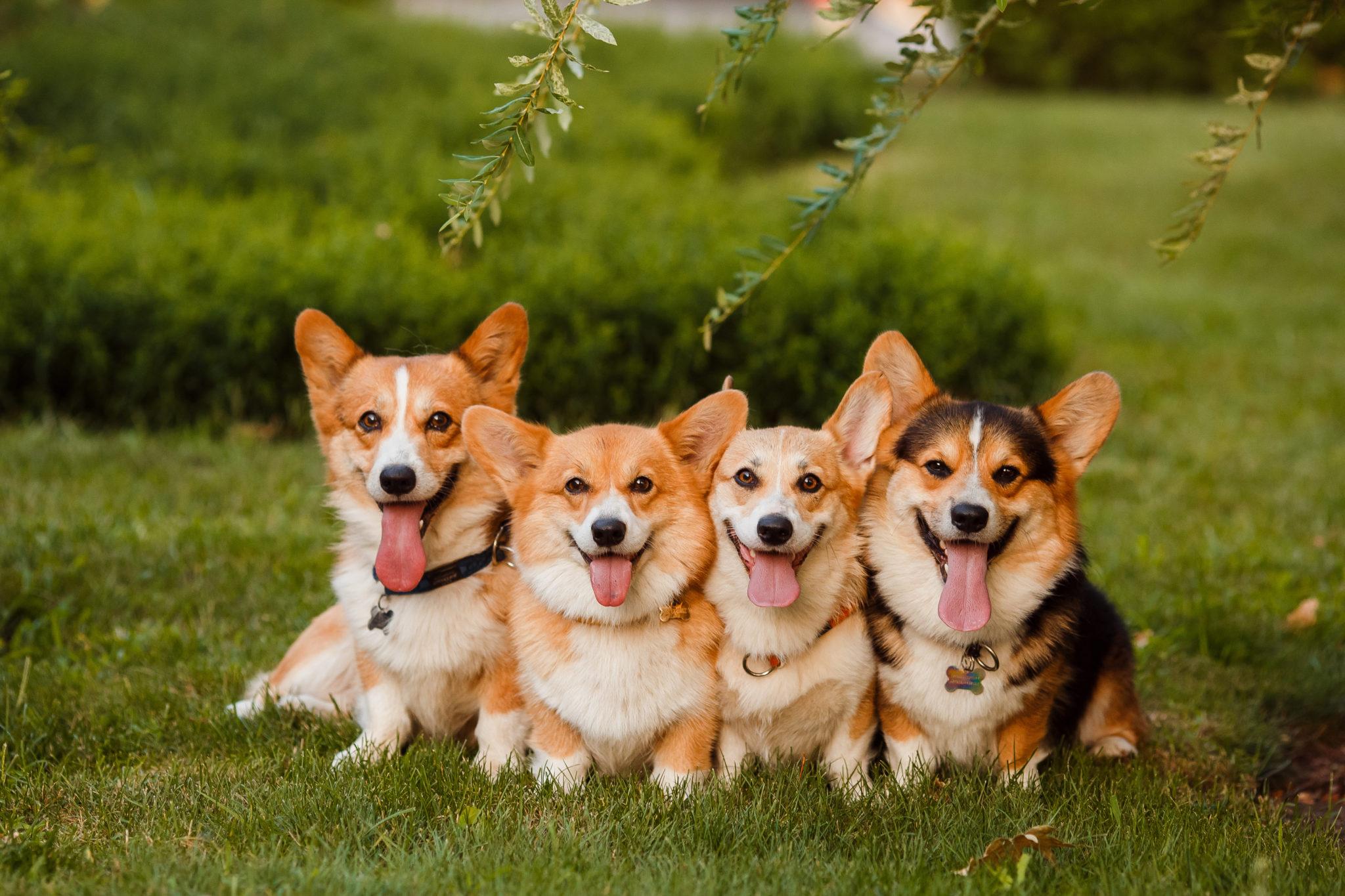 Psy Corgi na zielonej trawie