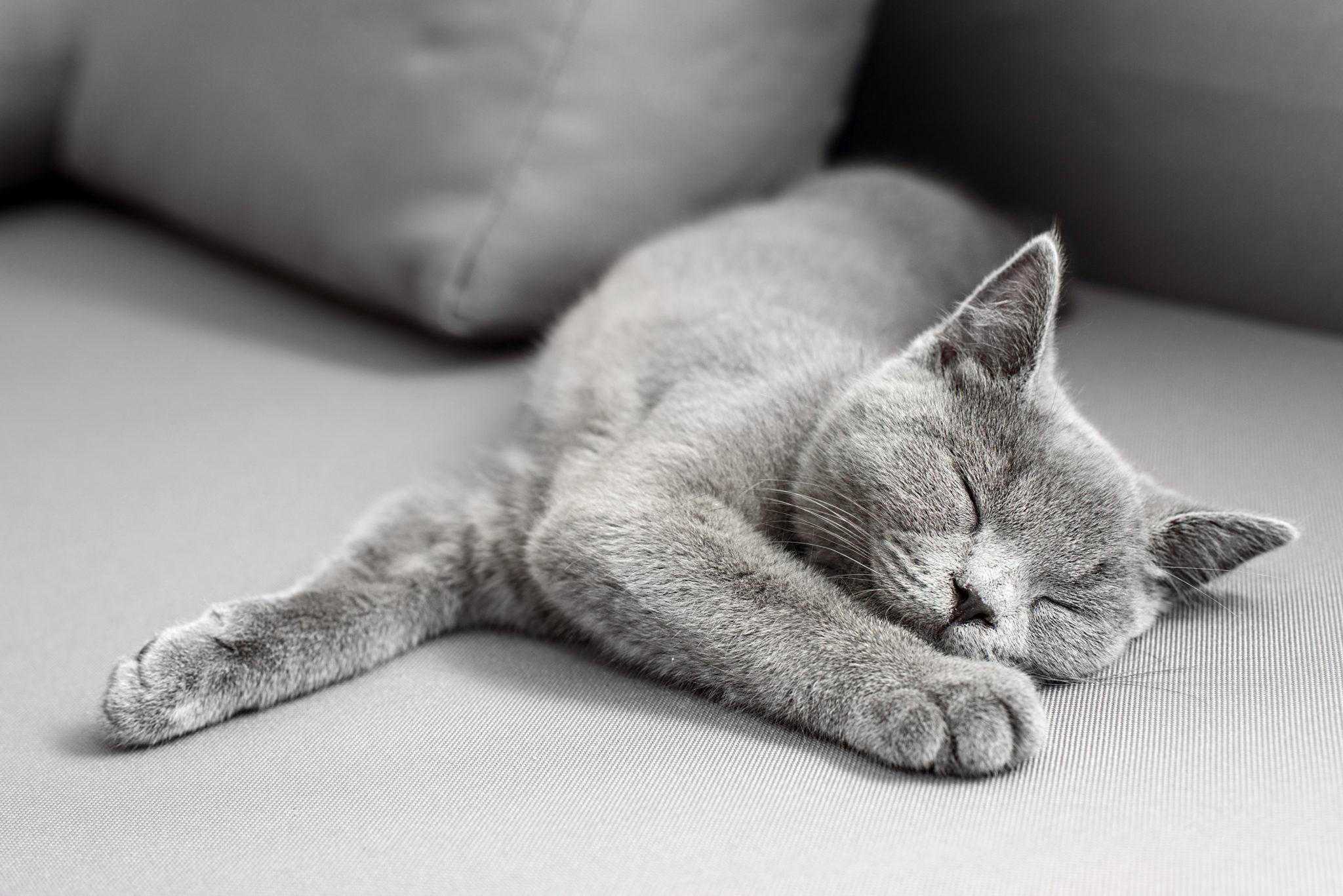 śpiący kot brytyjski