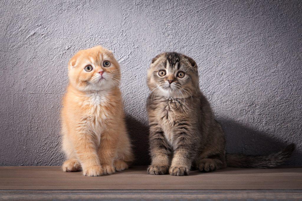 kotki szkockie zwisłouche