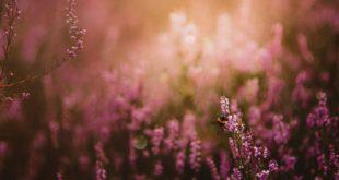 Wrzosy łąka