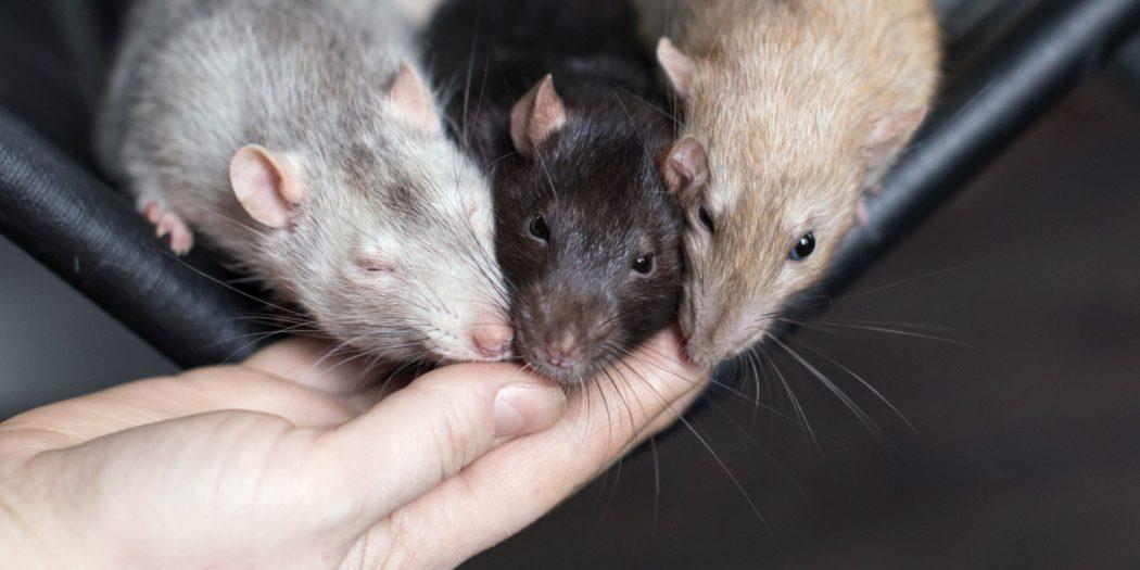 hodowla szczurów