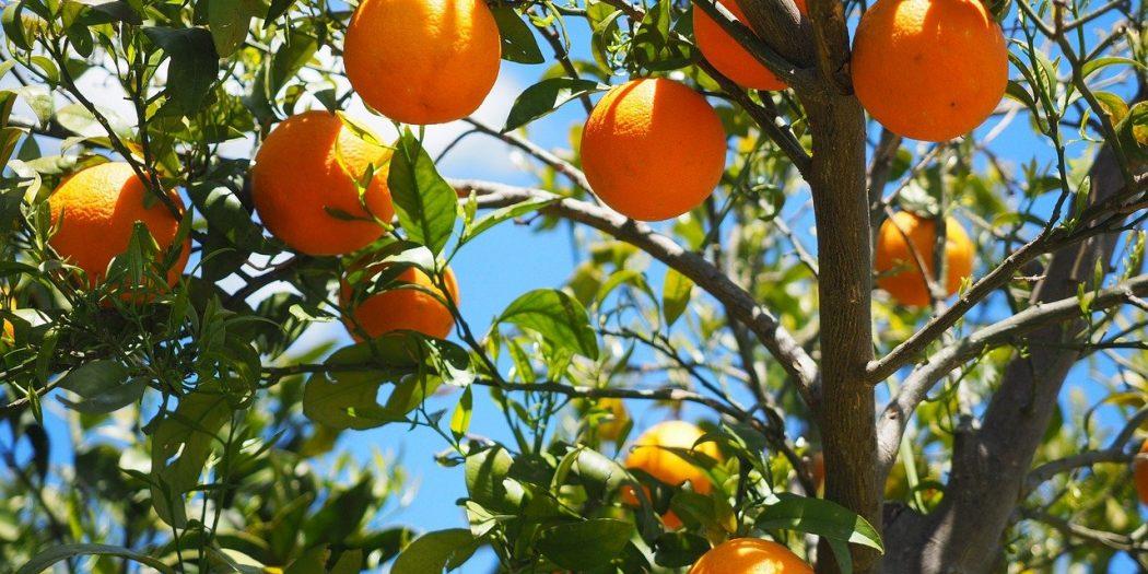 pomarańcze na drzewie