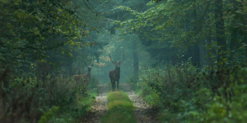 Jeleń i łania w Puszczy Białowieskiej