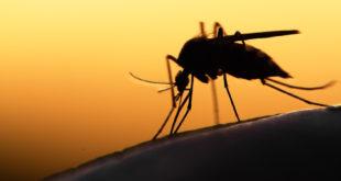 niebezpieczne komary