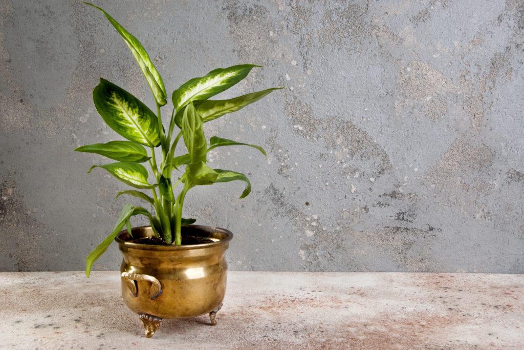 Difenbachia – trująca roślina o pięknych liściach
