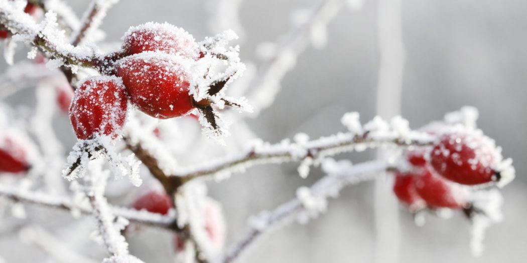 krzak i owoce dzikiej róży zimą