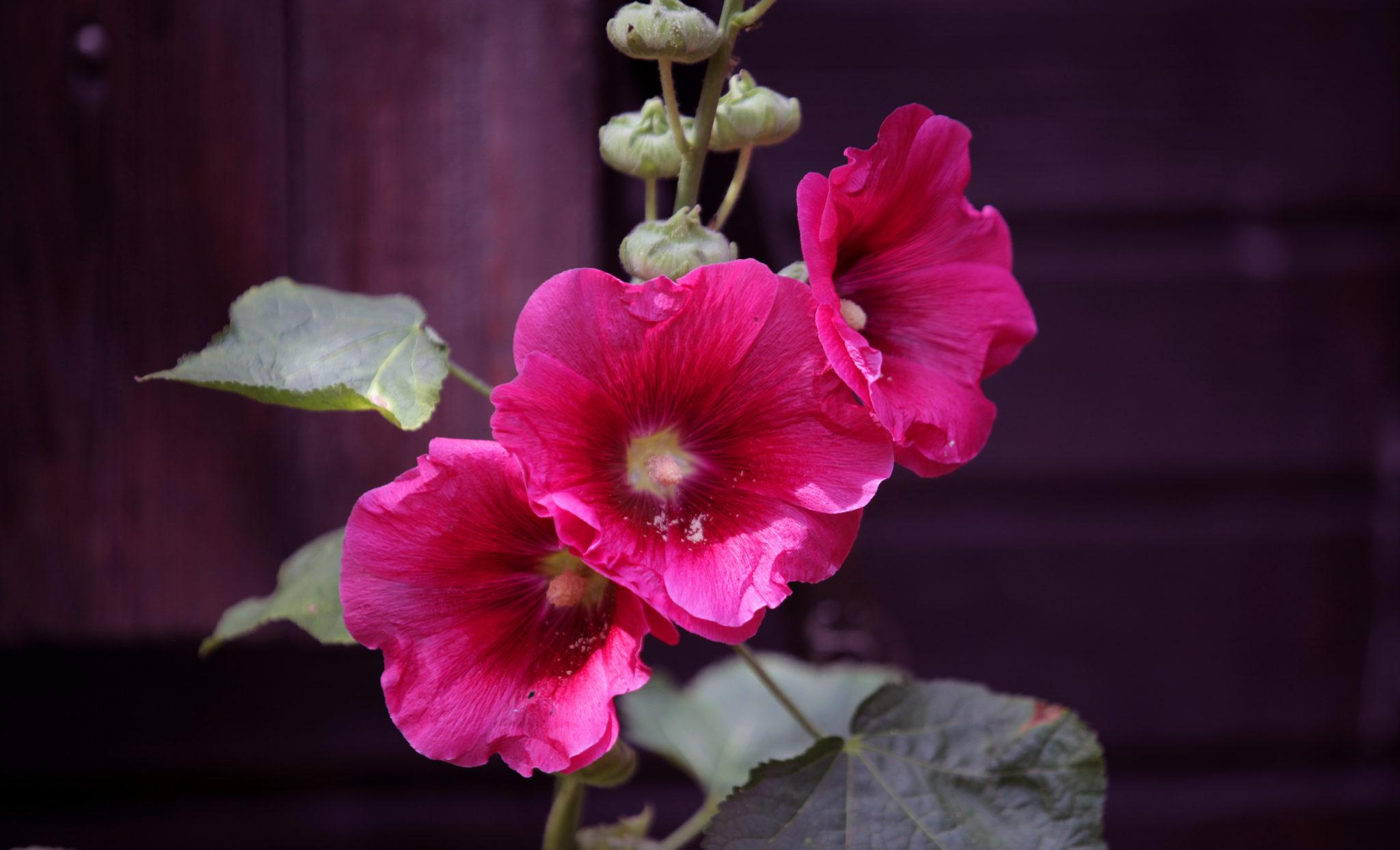 piękne różowe malwy na tle drewnianego domu