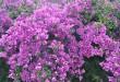 Bugenwilla swą egzotyczną urodą przyćmiewa wszystkie inne rośliny   fot.: Fotolia