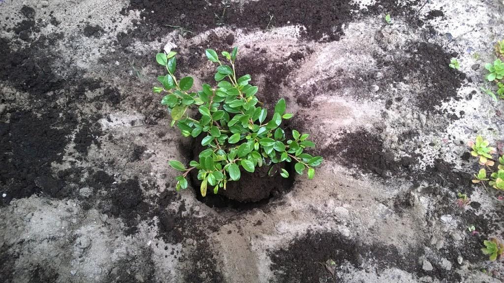 Irga sadzenie