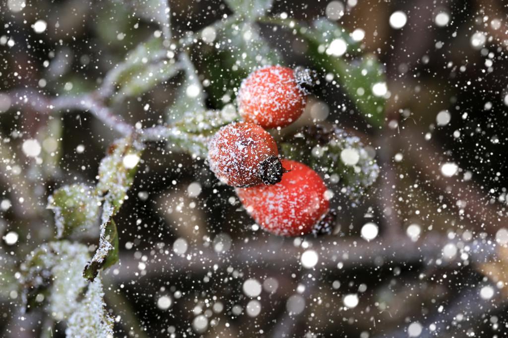 Owoce dzikiej róży doskonale komponują się z białymi płatkami śniegu fot.: Fotolia