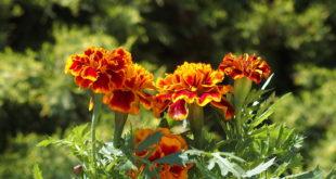 aksamitki proste w uprawie kwiaty
