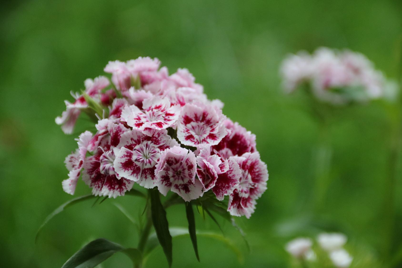 Goździki kwiaty łatwe w uprawie