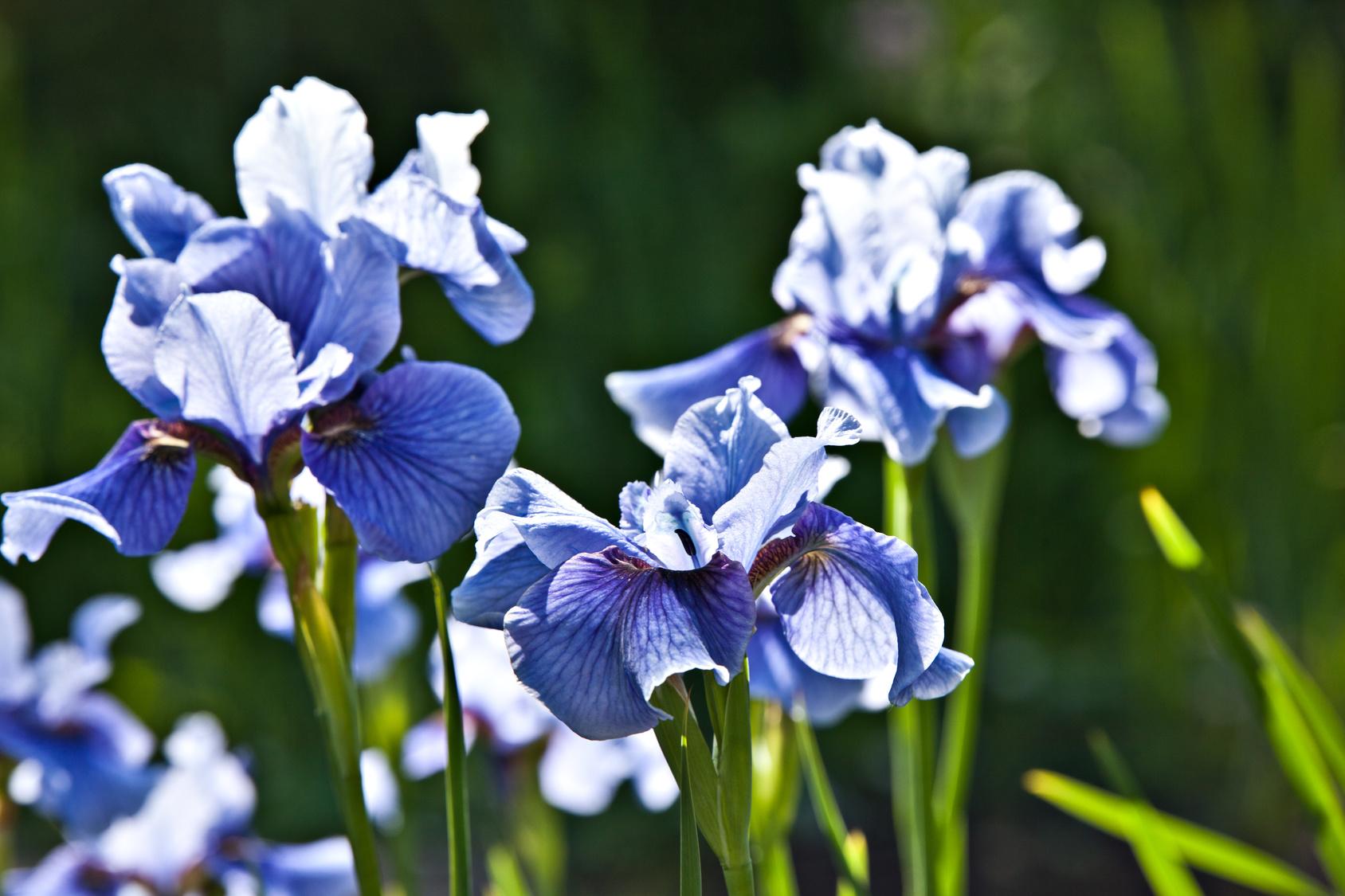 Irysy kwiaty proste w uprawie