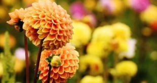 Jesienne kwiaty w ogrodzie i w domu