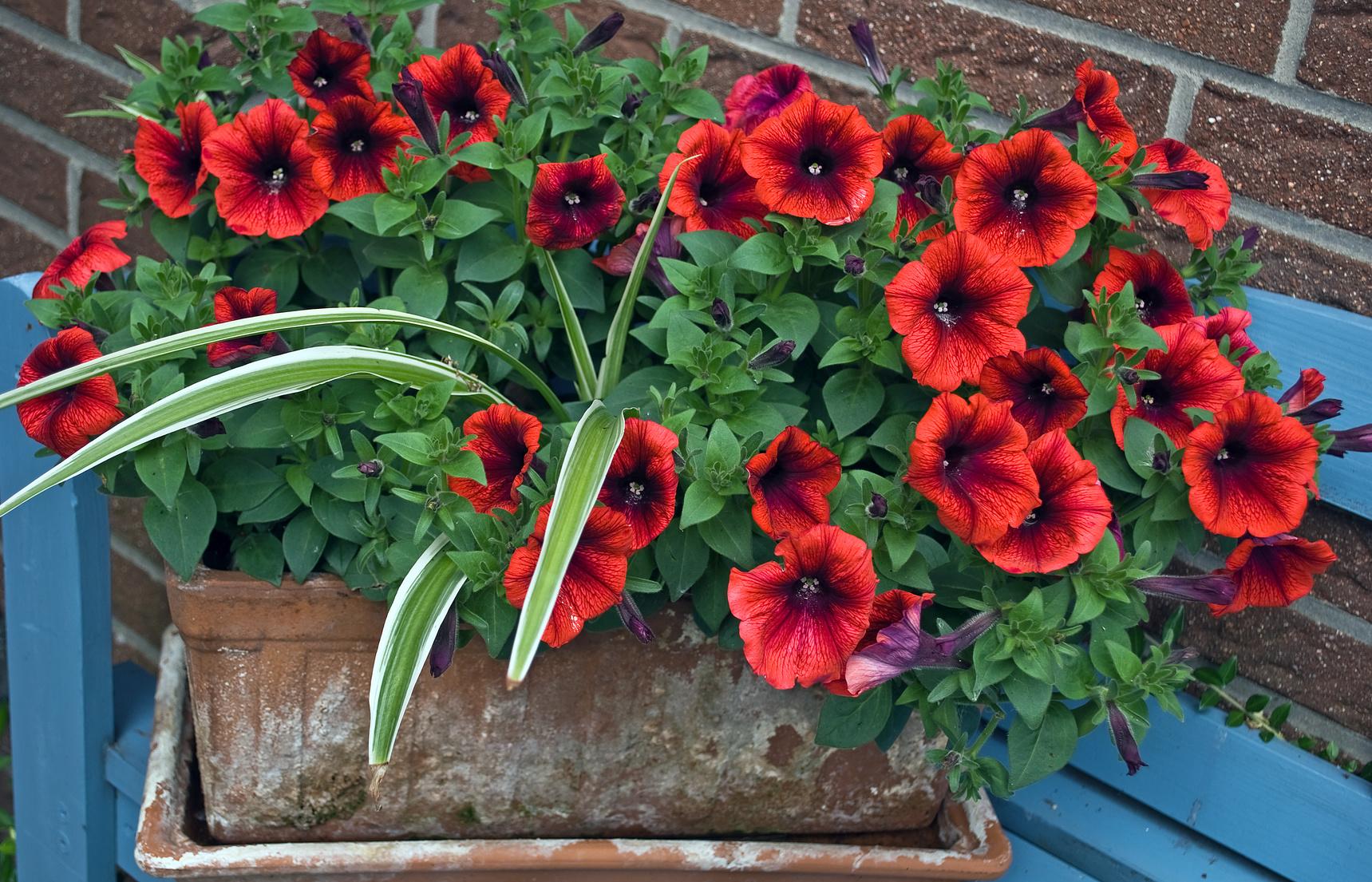 petunie kwiaty łatwe w uprawie