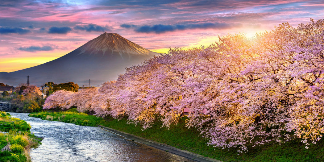 kwitnące wiśnie w Japonii, w tle góra Fuji