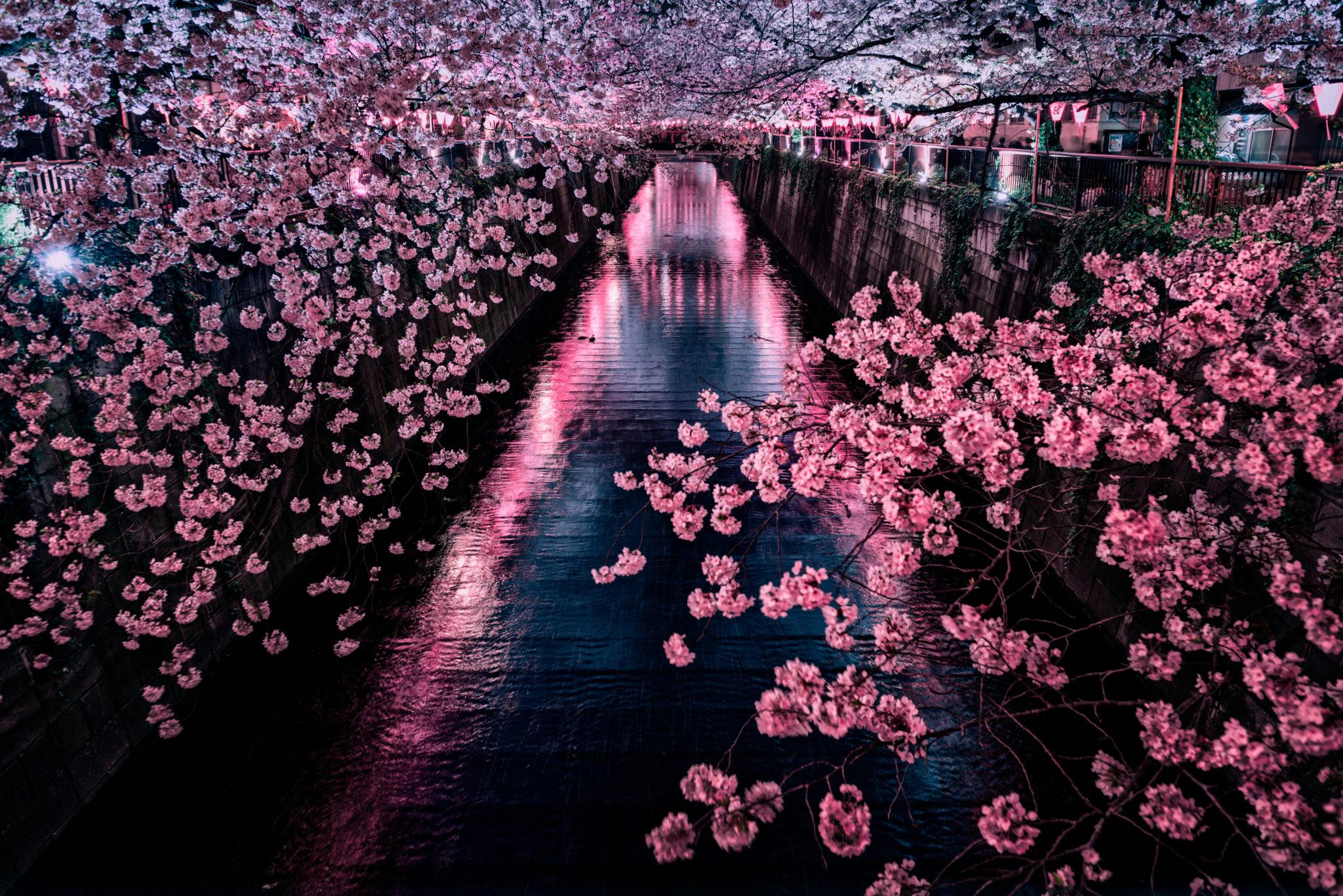 hanami Japonia nocą kwitnące wiśnie