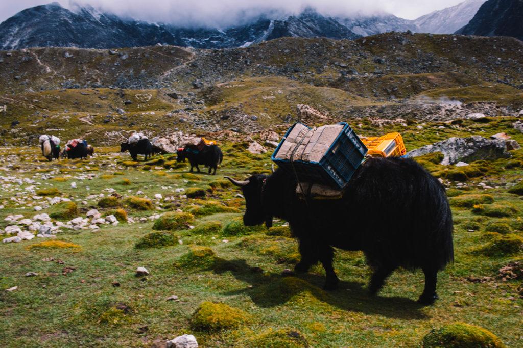 Jak tybetański w Nepalu