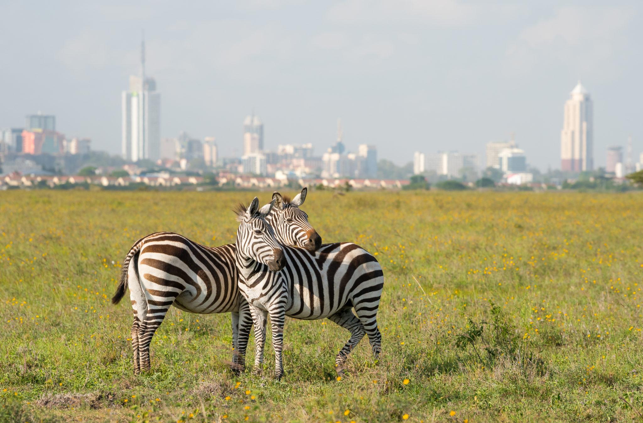 Zebry w Nairobi