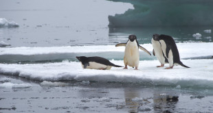Antarktyda, pingwiny Adeli