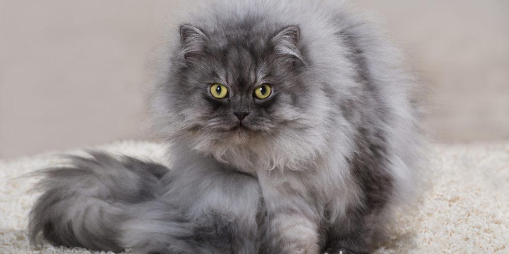 szary kot perski