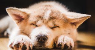 Akita Inu śpiący szczeniak
