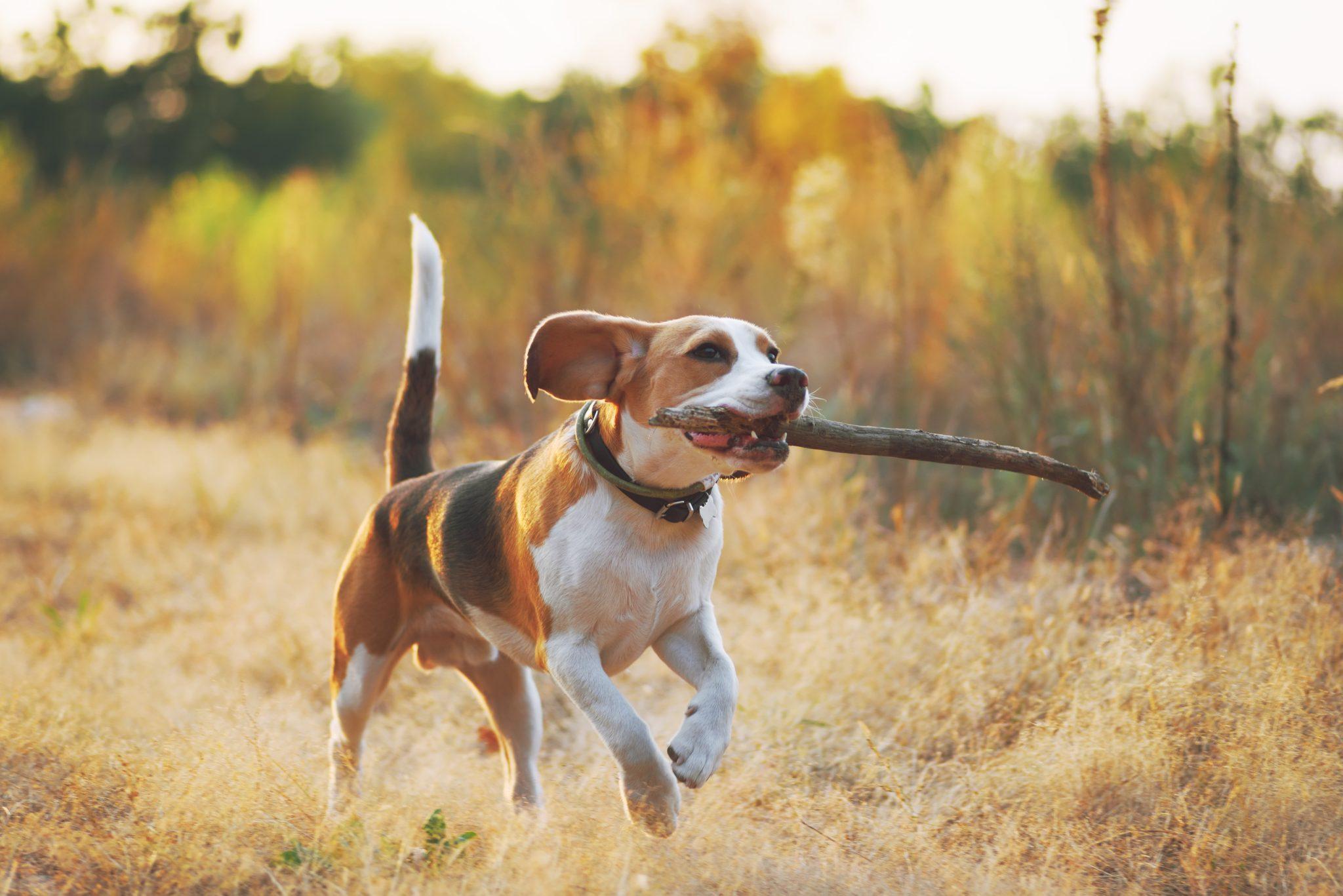 beagle pies z patykiem w zębach