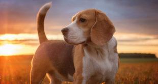 Beagle portret pies jesienią o zachodzie słońca