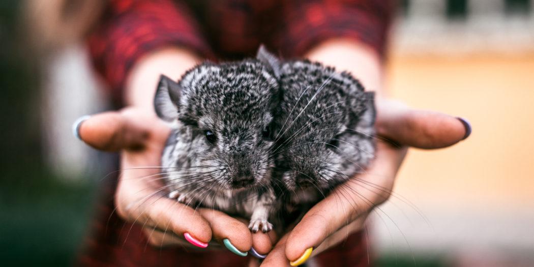 dwie małe szynszyle w kobiecych dłoniach