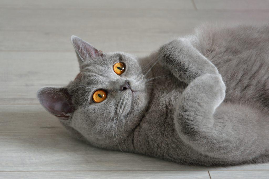 kot brytyjski krótkowłosy szary