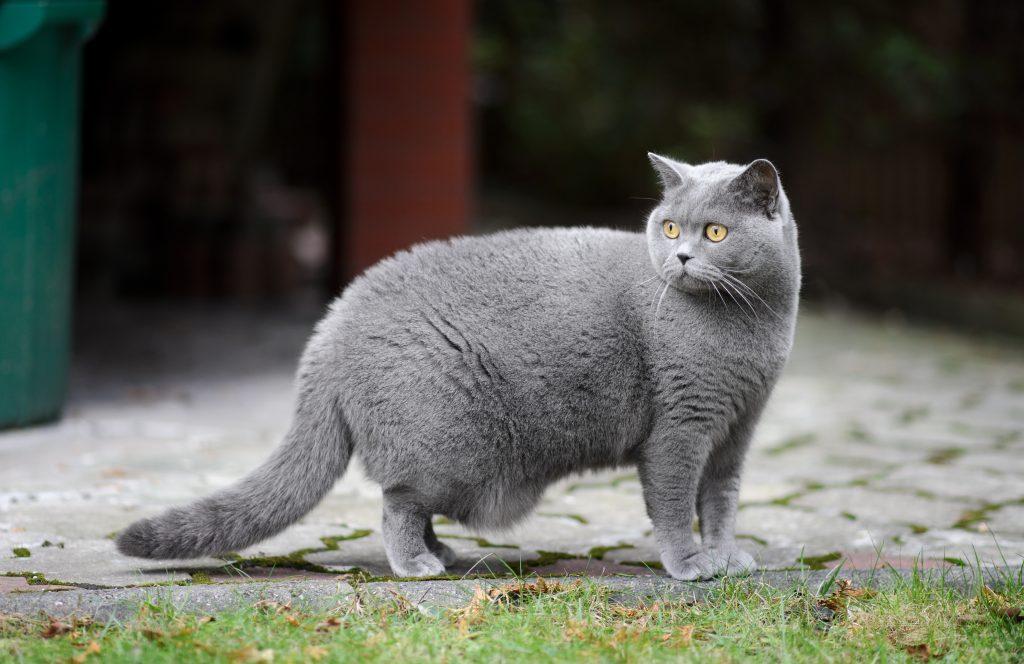 kot brytyjski krótkowłosy na zewnątrz