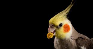 samiec papugi nimfy z ziarnem kukurydzy