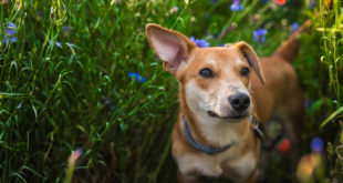 Portret psa w łące z makiem