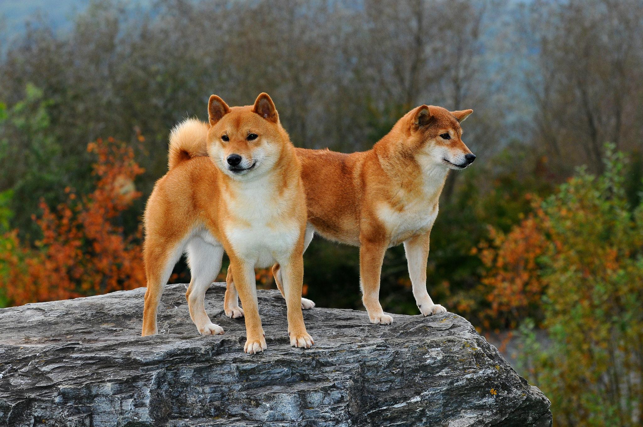 Shiba dwa psy