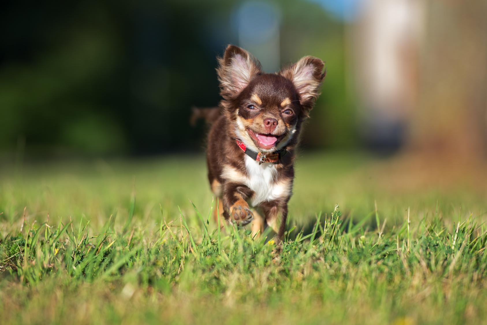 Chihuahua potrzebują częstych spacerów