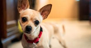 Chihuahua tresura pupila