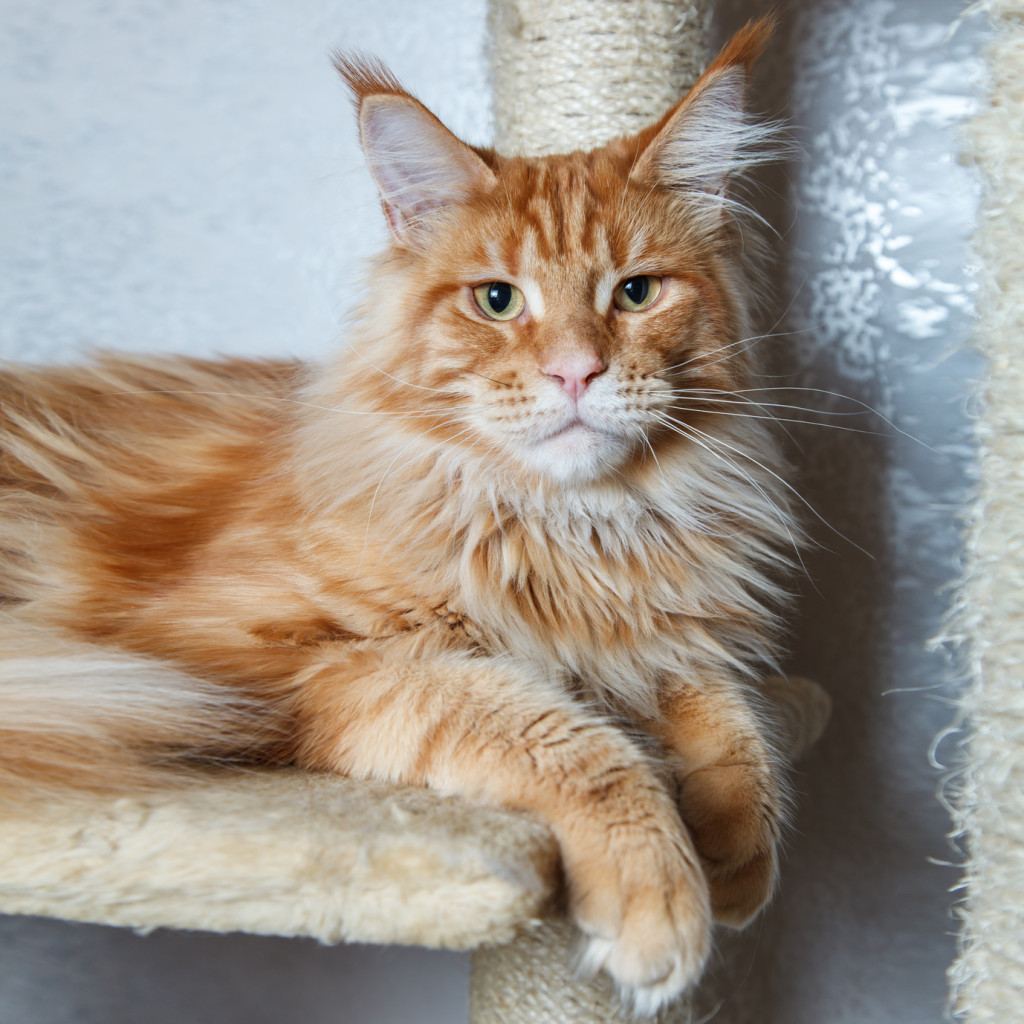 Maine Coon kocur