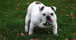 Buldog na trawie z zabawką w pyszczku