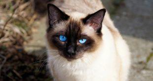 rasowy kot o niebieskich oczach