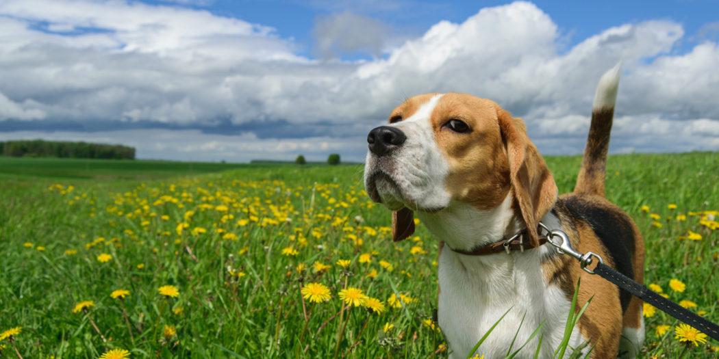 jak nauczyć psa sikania na dworze