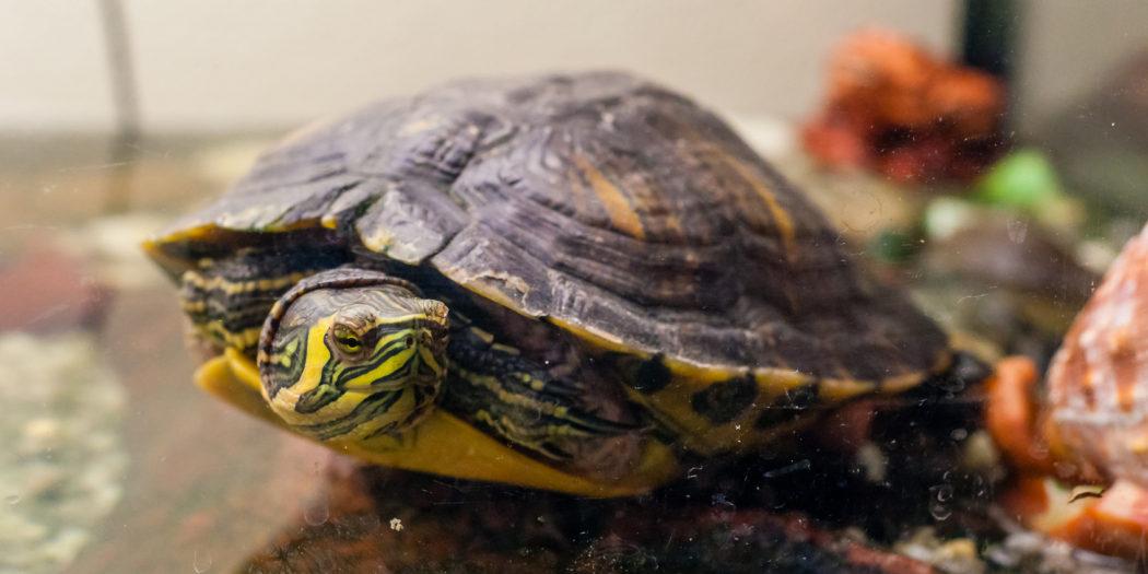 pielęgnacja żółwia