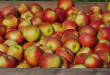 W analizowanym okresie eksport jabłek zmniejszył się 19 proc., w tym do krajów spoza Unii Europejskiej o 37 proc | fot.: Fotolia