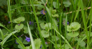 Młody bluszczyk kurdybanek wśród traw, Glechoma hederacea