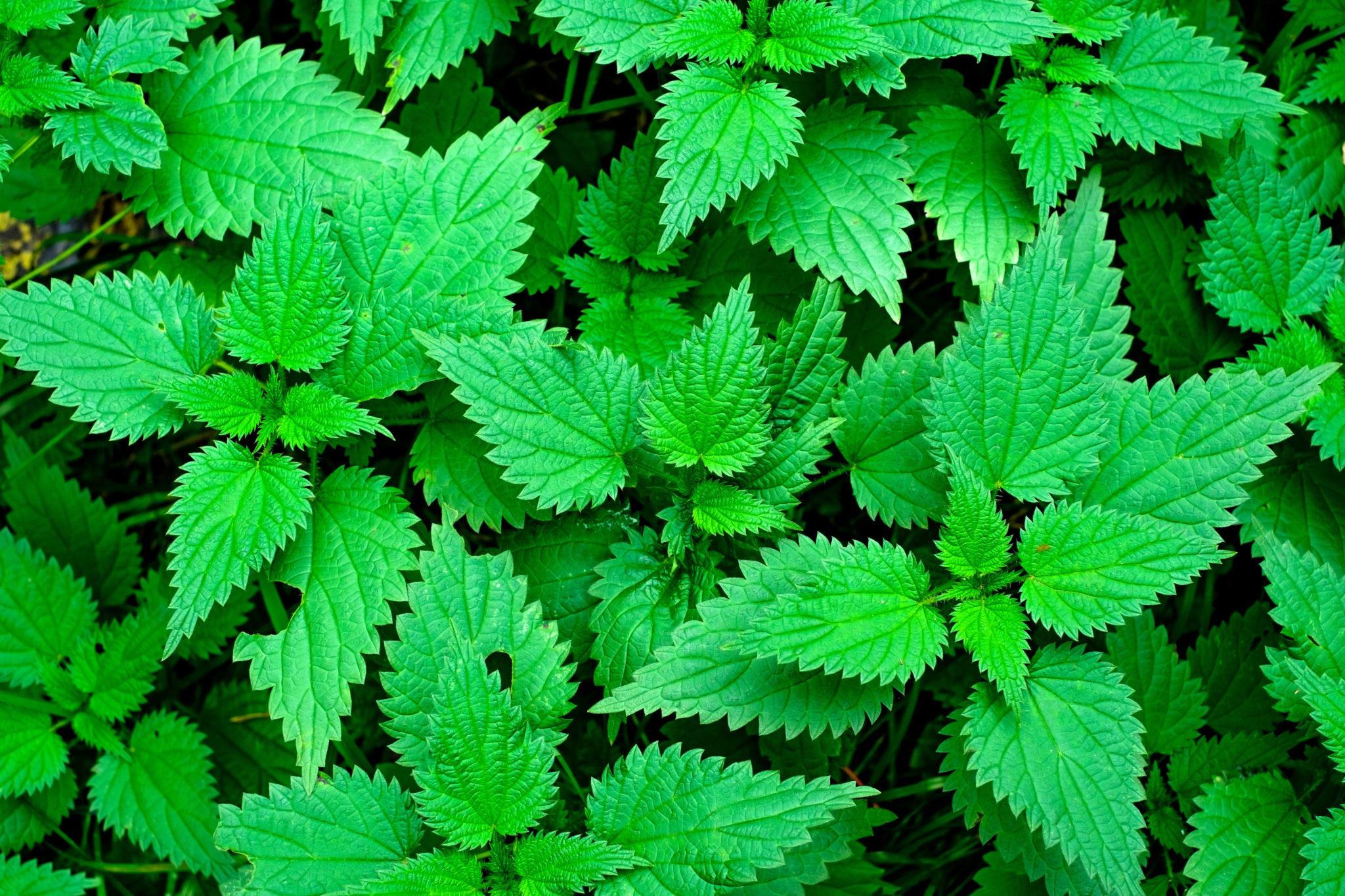 młode zielone pokrzywy